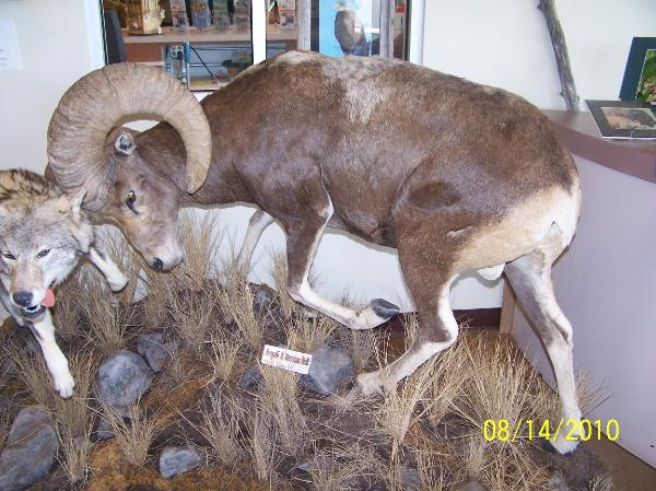 other horned hair sheep mounts and photos